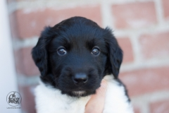 Pups-3-weken-10