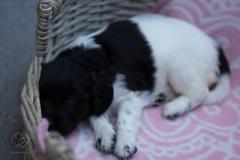 Pups-3-weken-12