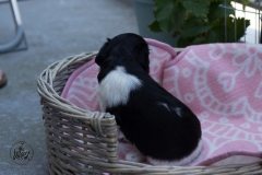 Pups-3-weken-29