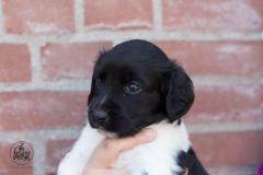 Pups-3-weken-30