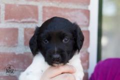 Pups-3-weken-31