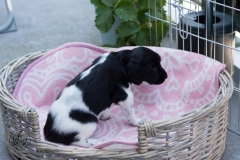 Pups-3-weken-33