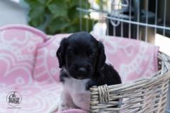 Pups-3-weken-37