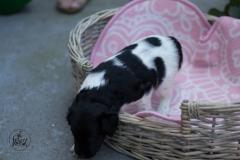 Pups-3-weken-44