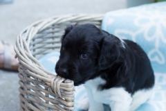 Pups-3-weken-63