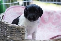 Pups-3-weken-7
