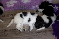Pups-3-weken-77