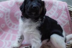 Pups-3-weken-8
