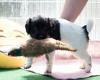 Pups-5-weken-17
