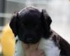 Pups-5-weken-43