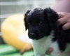 Pups-5-weken-11