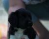 Pups-5-weken-27
