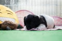 Pups-5-weken-12