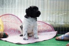 Pups-5-weken-14