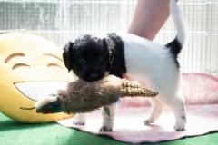 Pups-5-weken-16