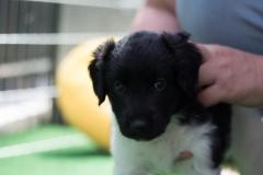 Pups-5-weken-21