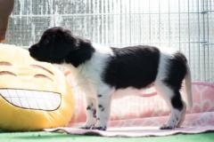 Pups-5-weken-23