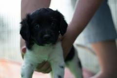 Pups-5-weken-24