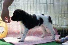 Pups-5-weken-31