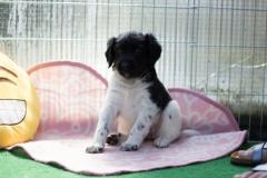 Pups-5-weken-34