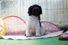 Pups-5-weken-35