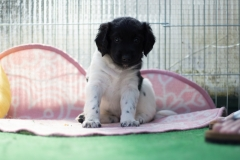 Pups-5-weken-36