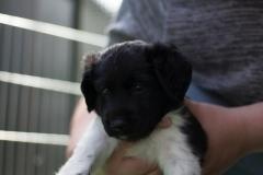 Pups-5-weken-37
