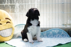 Pups-5-weken-41