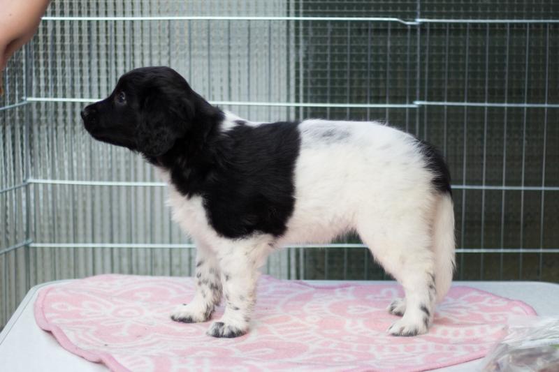 Pups-6-weken-10
