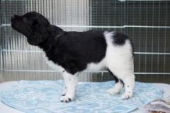 Pups-6-weken-1