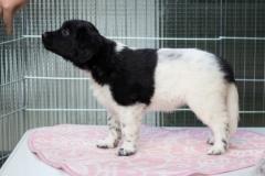Pups-6-weken-11