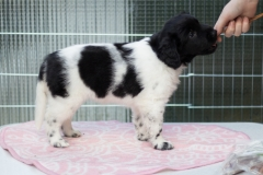 Pups-6-weken-12