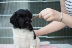 Pups-6-weken-15