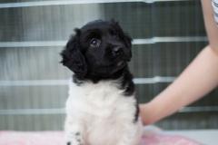 Pups-6-weken-16
