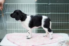 Pups-6-weken-19