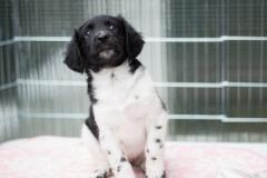 Pups-6-weken-22