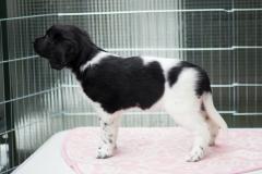 Pups-6-weken-24