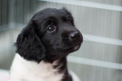 Pups-6-weken-37