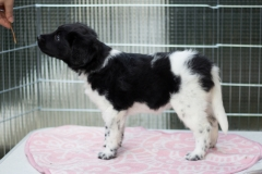 Pups-6-weken-4