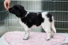 Pups-6-weken-5